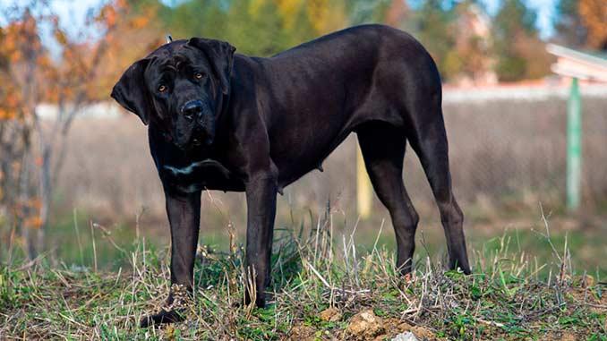 Тоса-ину черного окраса фото