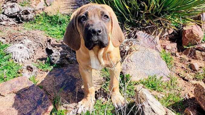 бразильский фила фото щенка