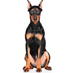 Немецкий пинчер фото взрослой собаки