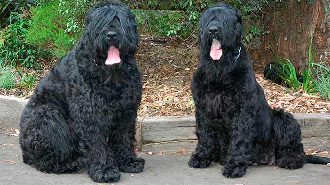 фото собак породы Русский черный терьер