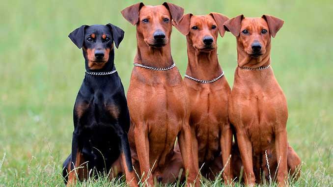 фото собак породы Немецкий пинчер