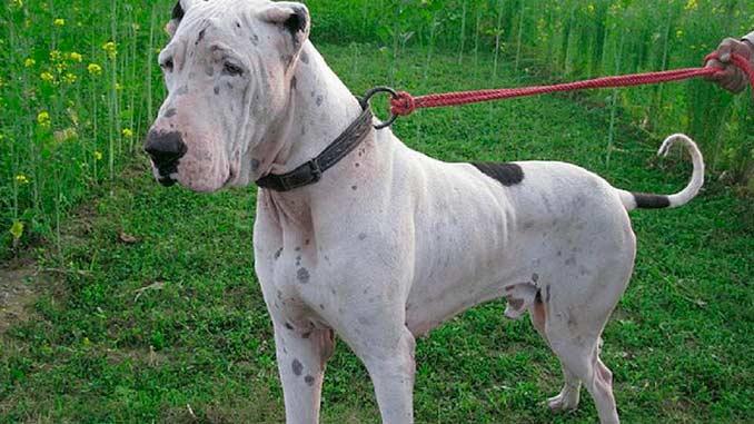 фото собаки породы Булли кутта