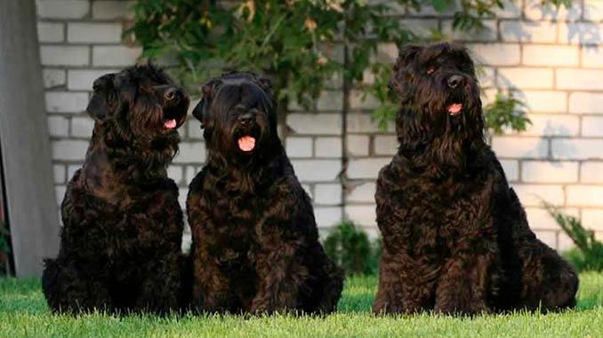 Русский черный терьер фото собак
