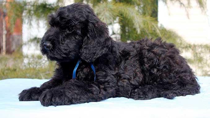 Русский черный терьер фото щенка