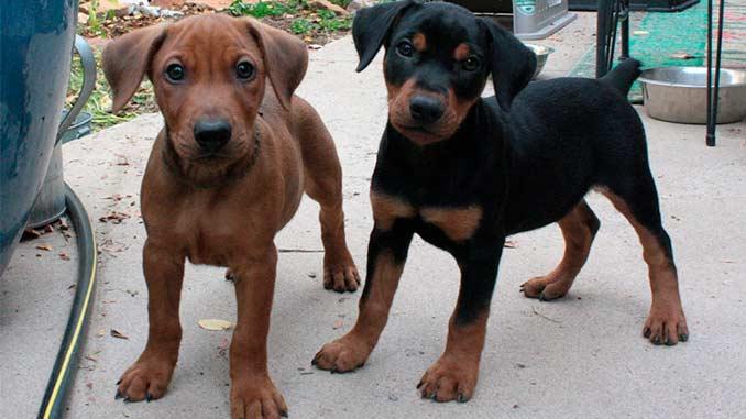 Немецкий пинчер фото щенков