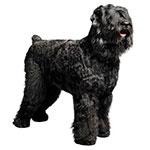 Русский черный терьер фото взрослой собаки