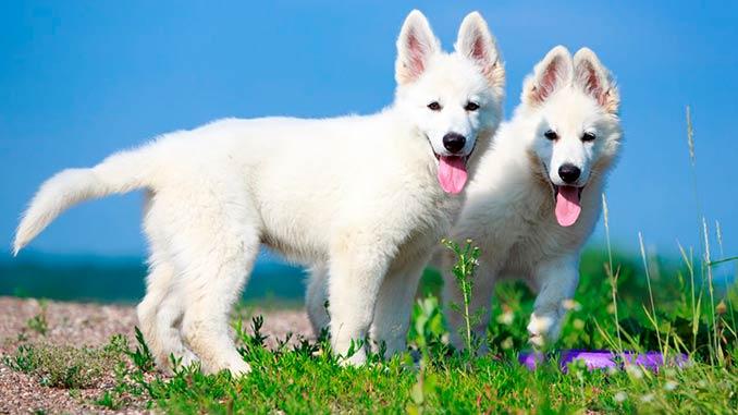 Белая швейцарская овчарка фото щенков