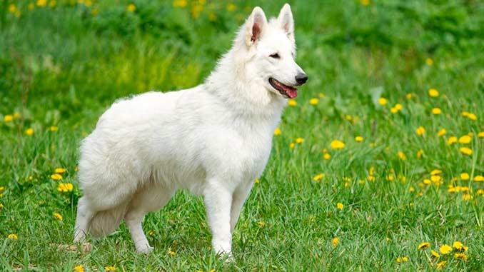 Белая швейцарская овчарка длинношерстная фото