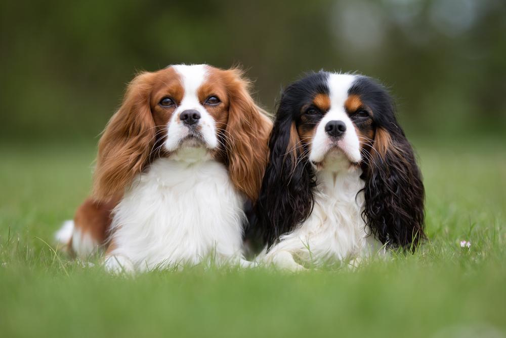 фото собак породы Кинг чарльз спаниель