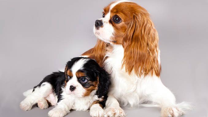 Кинг чарльз спаниель фото со щенком