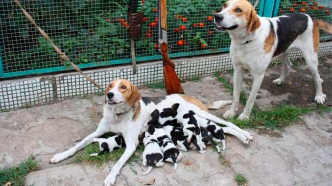 русская гончая фото со щенками