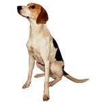 русская гончая фото взрослой собаки