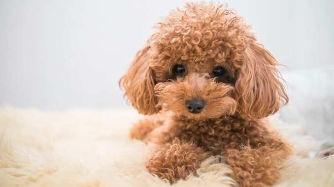 Той-пудель фото щенка