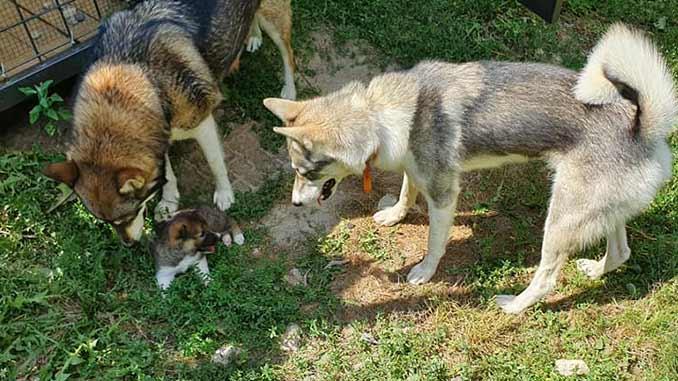 Западносибирская лайка фото собак со щенком