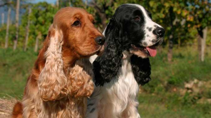фото собак породы английский кокер-спаниель