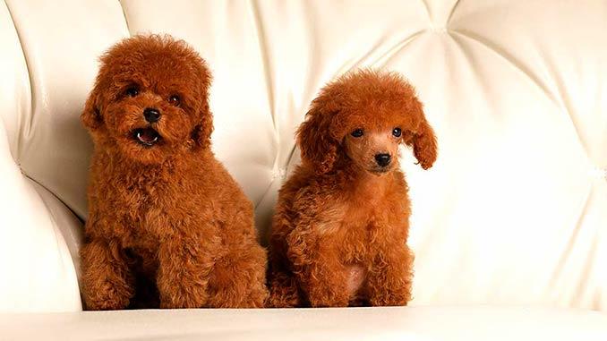 фото собак породы Той-пудель