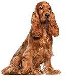 английский кокер-спаниель фото взрослой собаки