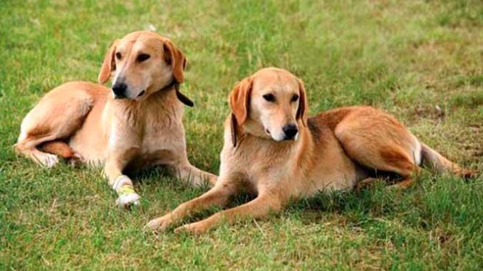 фото собак породы русская гончая