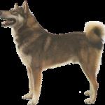 Западносибирская лайка фото взрослой собаки