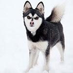 фото собаки породы Аляскинский кли кай