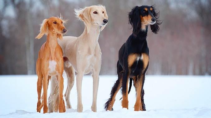 фото собак породы Персидская борзая