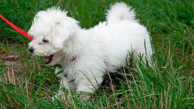 Болоньез фото щенка