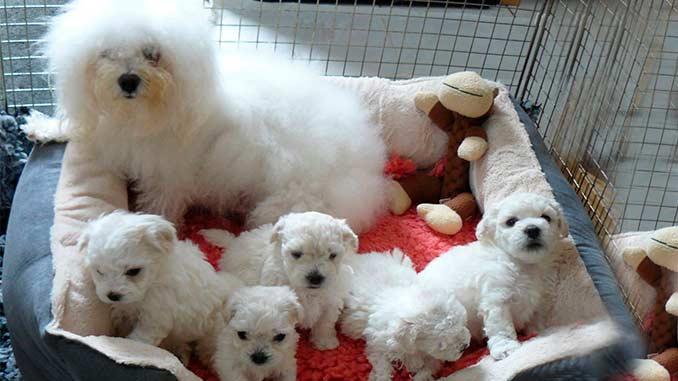 итальянская болонка фото со щенками