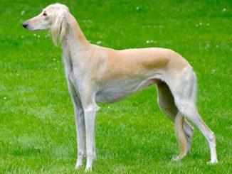 собака породы Салюки фото