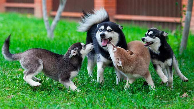 Аляскинский кли кай фото со щенками