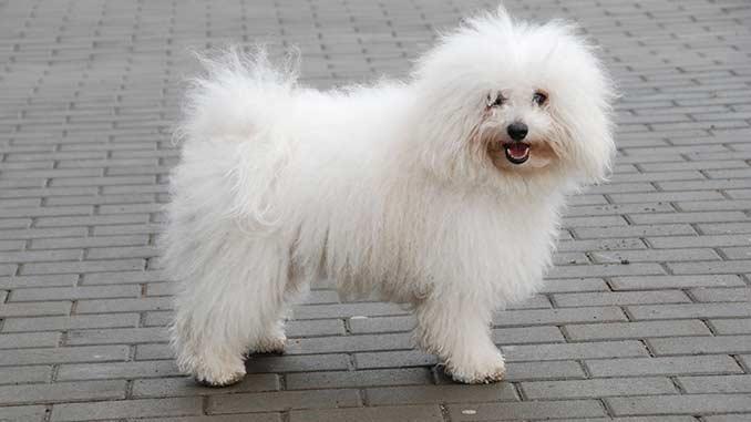 фото собаки породы Болоньез