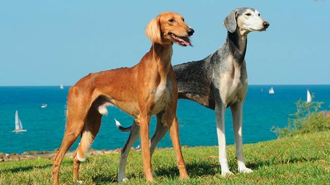 персидская борзая фото собак