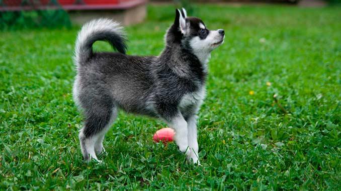 Аляскинский кли кай фото щенка