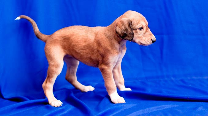 персидская борзая фото щенка