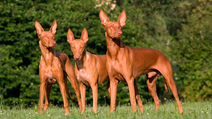 Фараонова собака фото собак