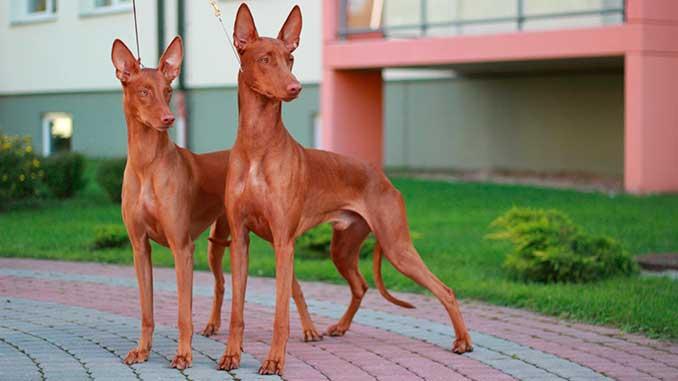 фото собак породы Фараонова собака