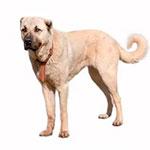 Кангальская овчарка фото взрослой собаки