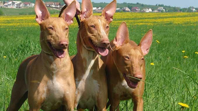 Фараонова собака щенки фото
