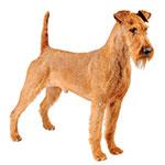 Ирландский терьер фото взрослой собаки