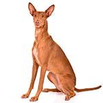 Фараонова собака сидит фото