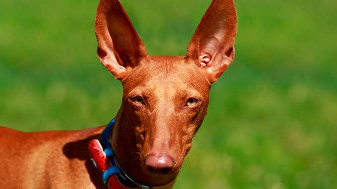 Фараонова собака крупным планом фото