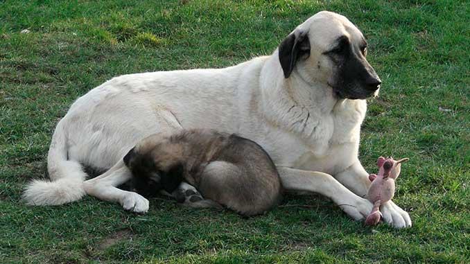 кангал фото со щенком