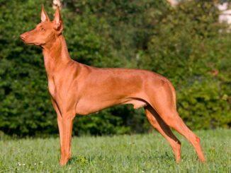 Фараонова собака в стойке фото