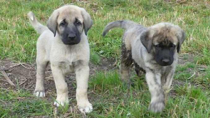 кангал фото щенков