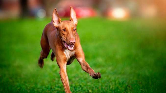 Фараонова собака тренировка фото