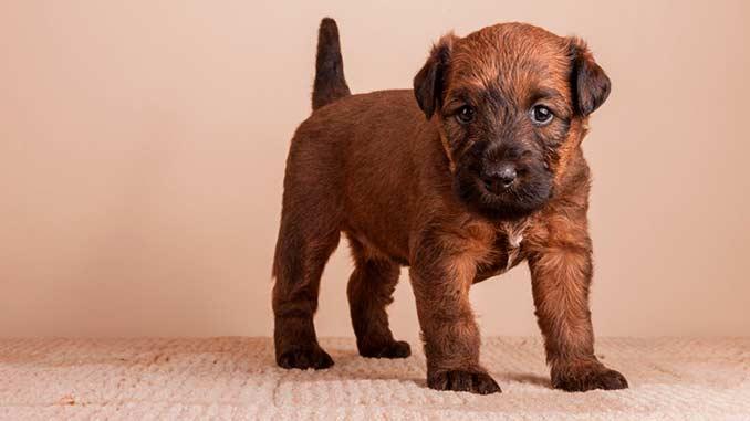 Ирландский терьер фото щенка