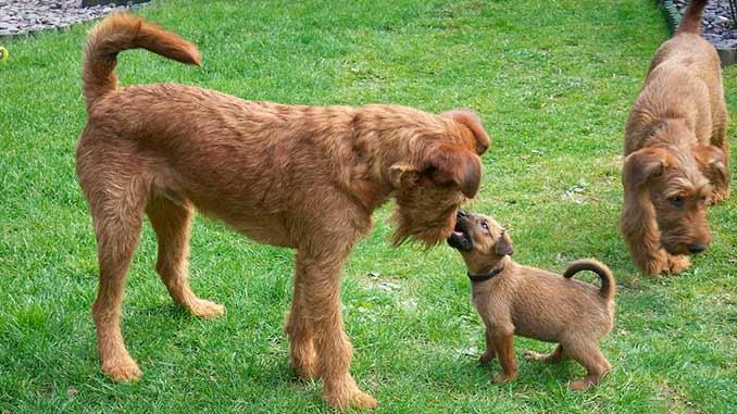 Ирландский терьер фото со щенком