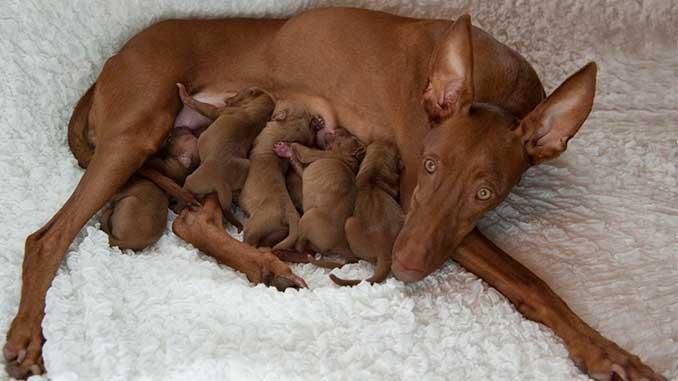 Фараонова собака фото со щенками
