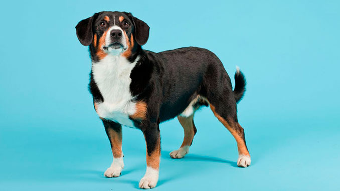 фото собаки породы Энтлебухер зенненхунд