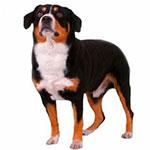 Энтлебухер зенненхунд фото взрослой собаки