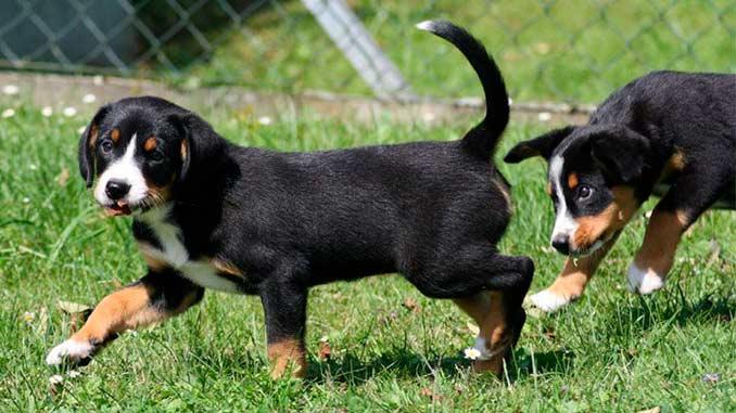 Энтлебухер зенненхунд фото щенков